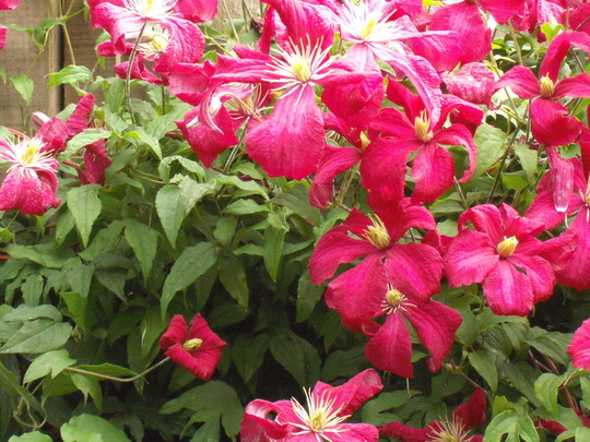Garden_032.jpg (Clematis viticella (Viticella Group clematis))