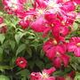 Garden_032.jpg (Clematis viticella (Viticella Group clematis))