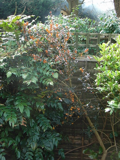 Berberis linearifolia 'Orange King' (Berberis linearifolia 'Orange King')