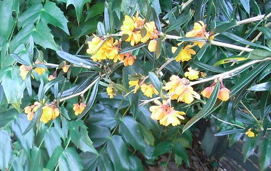 Berberis linearifolia 'Orange King' - close-up (Berberis linearifolia 'Orange King')