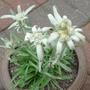Edelweiss - August 2009 (Leontopodium alpinum (Edelweiss))