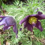 I've only kept this over winter by giving it full sun and stony soil (Pulsatilla vulgaris)