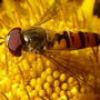 Up close & personal with a Hoverfly!