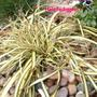 Carex_oshimensis_evergold_
