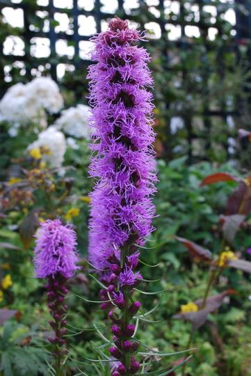 Liatris (Liatris spicata (Gayfeather) Purple)