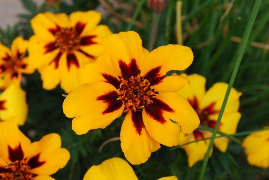 French Marigolds (Tagetes patula (French marigold))