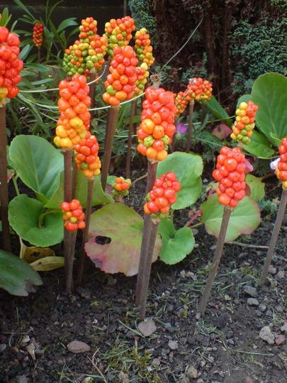 How Unusual! (Arum maculatum)
