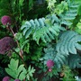 Melianthus, angelica in border. (Melianthus major)