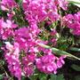 Arabis_rose_delight_