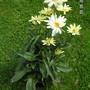 Leucanthemum_broadway_lights_