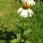 Echinacea_purpurea_white_swan_