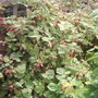 Loganberries (Rubus, rose family)