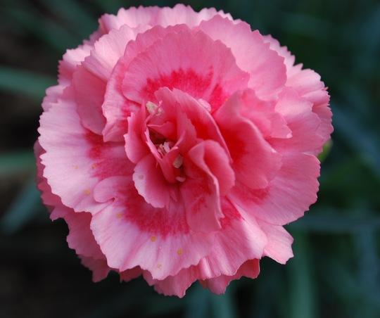 Dianthus Romance. (Dianthus Herbaceous Romance)