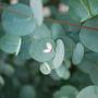 Eucalyptus Gunnii (Eucalyptus gunnii (Cider gum))