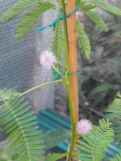 Acacia Mimosa Pudica