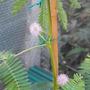 Acacia_mimosa_004