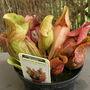 Carnivorous plant  (Sarracenia purpurea)
