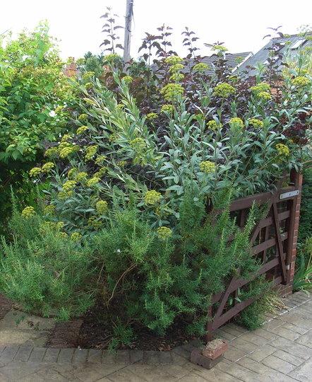 Bupleurum fruticosum - 2009 (Bupleurum fruticosum)