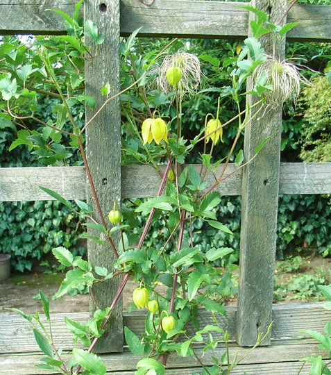 clematis tangutica 39 helios 39 2009 grows on you. Black Bedroom Furniture Sets. Home Design Ideas