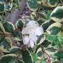 Luma appiculata 'Glanleam Gold' - 2009 (Luma apiculata)