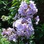 Phlox paniculata 'Franz Schubert' (Phlox paniculata)