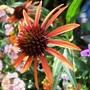 Echinacea_arts_pride