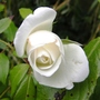 White_rose_work