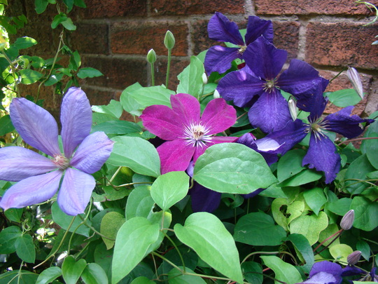 some of my clematis.