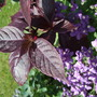 Alternanthera 'Purple Knight' (Alternanthera)