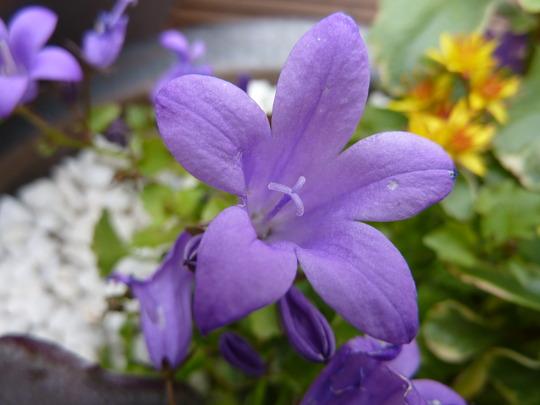 Campanula portenschlagiana - Dalmation Bellflower