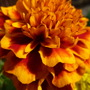 French Marigold - up close and personal