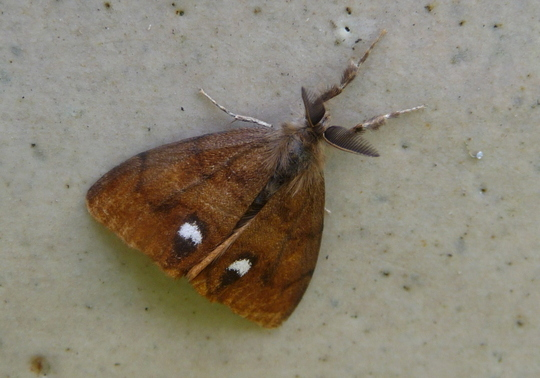 Moth for Toto