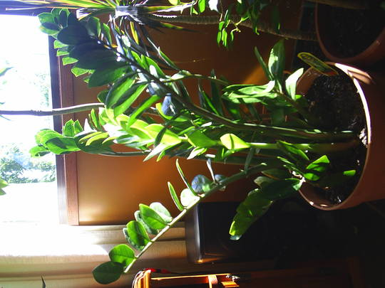 Indestructible plant (Zamioculcas zamiifolia)