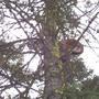 Treed Cougar (Puma concolor)