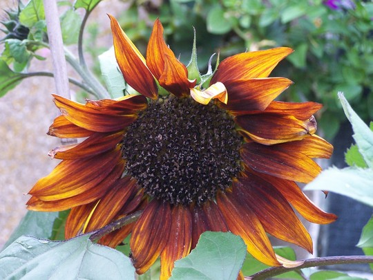 My Son's Sunflower 2009 for Cubs Sunflower Contest (Helianthus Annus)