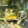 Another Bullfrog Pic