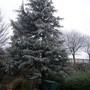 My Cedar Tree  (Cedrus deodara (Weeping deodar))