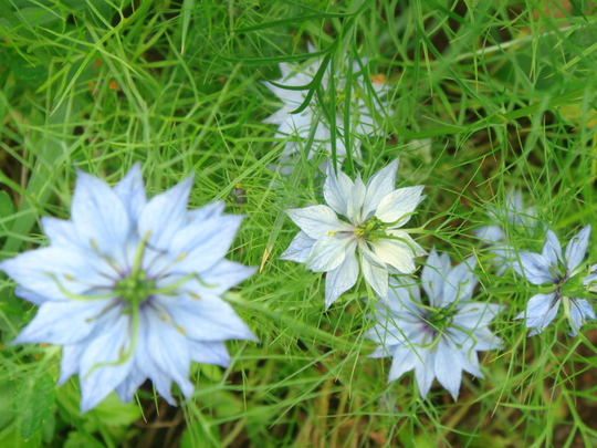 Love-in-a-Mist - August 2009 (Nigella hispanica (Love-in-a-mist))