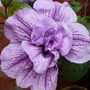 double petunia,with flower (Petunia priscilla :))