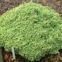 Chamaecyparis pisifera 'Spaan's Cannonball' (common name; Sawara false cypress)