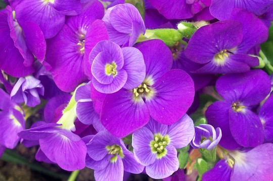 Aubrietia Kitte Purple (Aubrietia kitte purple)