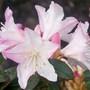 Dwarf Rhododendron (Rhododendron 'Dwarf')