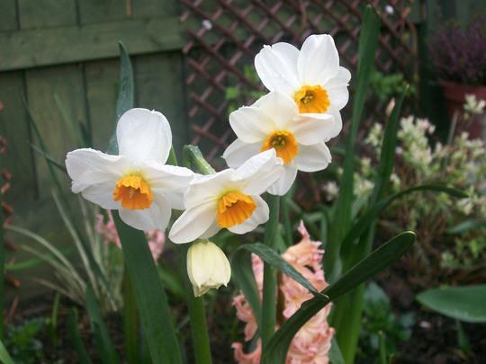 Unknown variety Daff (narcissus)