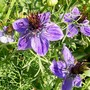 Nigella hispancica 'Curiosity' (Nigella hispanica (Love-in-a-mist))