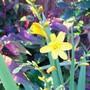 Honey Angels.... (Crocosmia x crocosmiiflora (Montbretia))