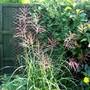 Miscanthus sinensis ferner 'Osten' (Miscanthus sinensis (Miscanthus))