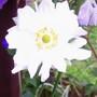 Japanese Anemone 'Whirlwind' (Anemone hupehensis (Japanese anemone))