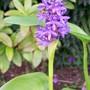 Pickerel Hyacinth - Water Baby..... (Pontederia cordata (Pickerel weed))