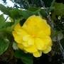 Bright Yellow Begonia (Begonia)