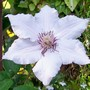 Clematis Snow Queen - Second flush of the year! (Clematis)